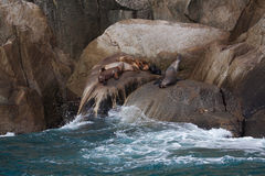 Leões-marinhos Foto de Stock Royalty Free