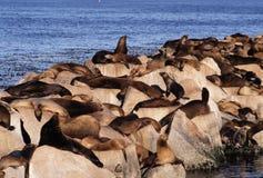 leões-marinhos em rochas Imagens de Stock
