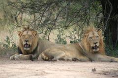 Leões masculinos fotografia de stock