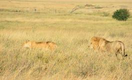 Leões masculinos e fêmeas Foto de Stock Royalty Free