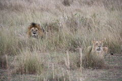 Leões na grama longa Imagens de Stock Royalty Free