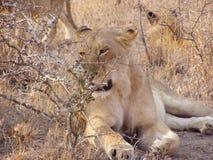 Leões na reserva do jogo Fotos de Stock