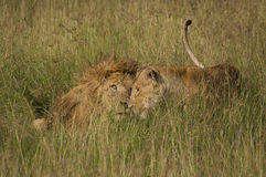 Leões no amor Foto de Stock Royalty Free