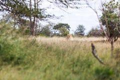 Leões no arbusto, parque de Kruger, África do Sul fotografia de stock royalty free