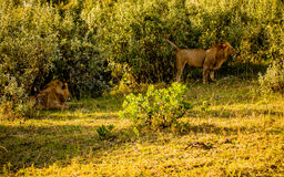 2 leões no Masai Mara Imagem de Stock Royalty Free
