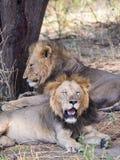 Leões no parque nacional de Tarangire, Tanzânia Imagens de Stock