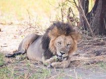 Leões no parque nacional de Tarangire, Tanzânia Fotografia de Stock Royalty Free