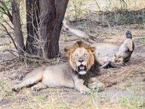Leões no parque nacional de Tarangire, Tanzânia Fotos de Stock Royalty Free