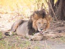 Leões no parque nacional de Tarangire, Tanzânia Foto de Stock