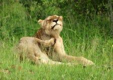 Leões no Serengeti Fotos de Stock Royalty Free