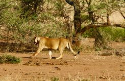 Leões no Serengeti Imagem de Stock Royalty Free