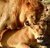 Leões no Serengeti Fotos de Stock
