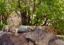 Leões no Serengeti Imagens de Stock Royalty Free