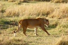 Leões no Serengeti Imagem de Stock