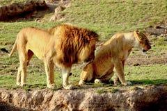 Leões no Serengeti Foto de Stock Royalty Free