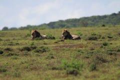 Leões no sol Imagens de Stock