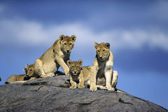 Leões novos Imagens de Stock