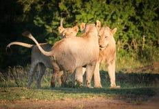 Leões novos com leoa, Umfolozi, África do Sul Imagens de Stock