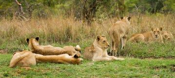Leões novos em Bush em África do Sul Imagens de Stock