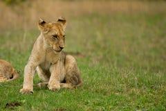 Leões novos em Bush em África do Sul Fotografia de Stock