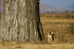 Leões novos no savana Fotos de Stock Royalty Free
