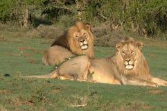 Leões pai & filho Foto de Stock Royalty Free