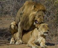 Leões - pares de acoplamento do parque nacional de Kruger Imagens de Stock