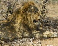 Leões - pares de acoplamento do parque nacional de Kruger Fotografia de Stock Royalty Free