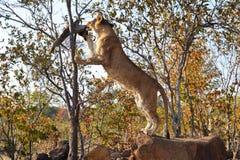 Leões perto de Victoria Falls em Botswana, África Imagens de Stock