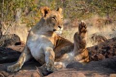 Leões perto de Victoria Falls em Botswana, África Fotografia de Stock Royalty Free