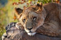 Leões perto de Victoria Falls em Botswana, África Imagem de Stock Royalty Free