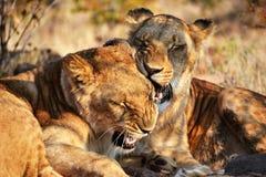 Leões perto de Victoria Falls em Botswana, África Fotos de Stock Royalty Free