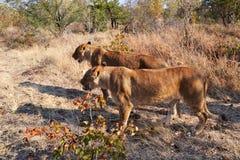 Leões perto de Victoria Falls em Botswana, África Fotografia de Stock