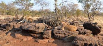 Leões perto de Victoria Falls em Botswana, África Fotos de Stock