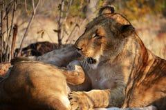 Leões perto de Victoria Falls em Botswana, África Imagens de Stock Royalty Free