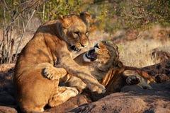 Leões perto de Victoria Falls em Botswana, África Imagem de Stock