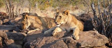 Leões perto de Victoria Falls em Botswana, África Foto de Stock Royalty Free