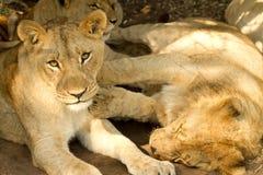Leões preguiçosos novos Fotografia de Stock