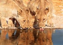 3 leões que bebem de um waterhole Imagem de Stock Royalty Free