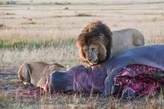 Leões que deleitam-se na carcaça do hipopótamo Fotografia de Stock Royalty Free