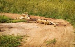 Leões que encontram-se na estrada no Masai Mara Park Fotografia de Stock Royalty Free