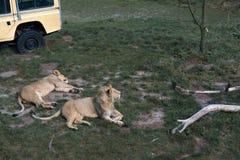 Leões que encontram-se na grama fotografia de stock