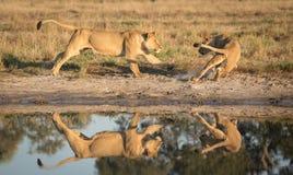 Leões que jogam perto da água, Savuti, Botswana Imagens de Stock Royalty Free