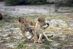 Leões, reserva do jogo de Selous, Tanzânia Imagem de Stock