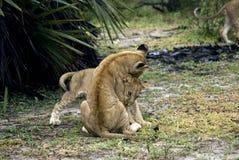 Leões, reserva do jogo de Selous, Tanzânia Imagem de Stock Royalty Free