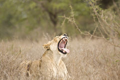 Leões selvagens que jogam, parque nacional dos bebês de Kruger, ÁFRICA DO SUL Imagens de Stock Royalty Free