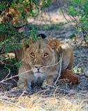 Leões seu alerta ao descansar abaixo de um arbusto no parque nacional de Hwange imagens de stock