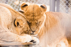 Leões velhos na gaiola Imagens de Stock