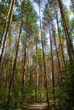 leśna wędrownej sosna ścieżki Zdjęcia Stock