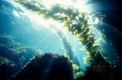 leśny kelp słońce obraz royalty free
